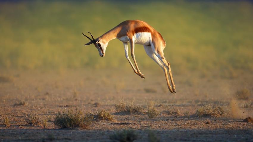 classic overland springbok